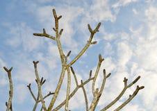 Μίσχοι Plumeria ενάντια στον ουρανό Στοκ Φωτογραφίες