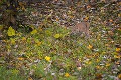 Μίσχοι rufus λυγξ Bobcat μέσω της χλόης και του φθινοπώρου φύλλων στοκ φωτογραφία