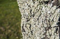 Μίσχος δέντρων με τη λειχήνα Στοκ Φωτογραφία