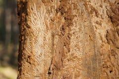 Μίσχος ενός δέντρου που τρώεται από τα σκουλήκια Στοκ εικόνες με δικαίωμα ελεύθερης χρήσης