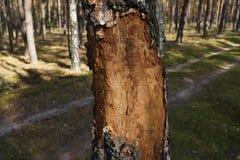 Μίσχος μιας σημύδας που τρώεται από τα σκουλήκια Στοκ Εικόνα
