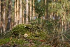 Μίσχος μιας σημύδας Στοκ Φωτογραφίες
