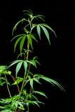 Μίσχος της μαριχουάνα Στοκ Φωτογραφίες