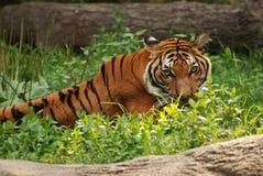 Μίσχος τιγρών Στοκ Φωτογραφίες