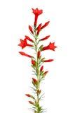 Μίσχος των κόκκινων λουλουδιών μιγμάτων κολιβρίων aggregata Ipomopsis που απομονώνεται στοκ φωτογραφίες με δικαίωμα ελεύθερης χρήσης