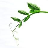 μίσχος φυτών Στοκ φωτογραφία με δικαίωμα ελεύθερης χρήσης