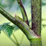 Μίσχος Hemlock (maculatum Conium) που παρουσιάζει πορφυρές κηλίδες Στοκ Εικόνες