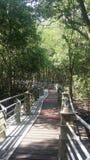 Μαγγρόβιο πιό reforest Στοκ Εικόνα