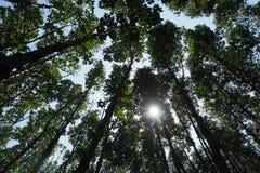 Μαγγρόβιο πιό reforest Στοκ Φωτογραφία