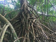 Μαγγρόβιο πιό reforest στοκ φωτογραφία με δικαίωμα ελεύθερης χρήσης