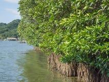 Μαγγρόβιο πιό reforest Στοκ φωτογραφίες με δικαίωμα ελεύθερης χρήσης