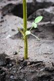 Μαγγρόβιο που φυτεύει στον υγρότοπο της Ασίας Στοκ εικόνα με δικαίωμα ελεύθερης χρήσης