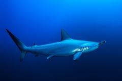 Μαγειρευμένος hammerhead καρχαρίας στοκ φωτογραφία