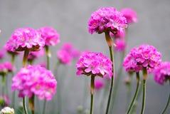 Μαγικά ρόδινα λουλούδια Στοκ Εικόνες