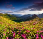 Μαγικά ρόδινα rhododendron λουλούδια στα θερινά βουνά στοκ φωτογραφίες