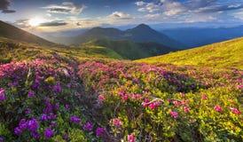 Μαγικά ρόδινα rhododendron λουλούδια στοκ εικόνες