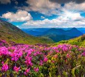 Μαγικά ρόδινα rhododendron λουλούδια στοκ φωτογραφία