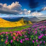 Μαγικά ρόδινα rhododendron λουλούδια στοκ εικόνες με δικαίωμα ελεύθερης χρήσης