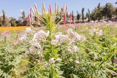 Μαγικά ρόδινα rhododendron λουλούδια στοκ φωτογραφίες με δικαίωμα ελεύθερης χρήσης