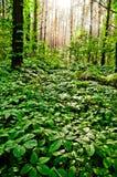 Μαγικό δάσος με το αναρριχητικό φυτό της Βιρτζίνια όλα γύρω στοκ εικόνα με δικαίωμα ελεύθερης χρήσης