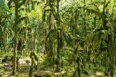 Μαγικό δάσος νεράιδων, δασικό βρύο Neckera δέντρων Colchis πυξαριού λειψάνων στοκ εικόνα