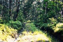 Μαγικό και μυστήριο άγριο ξύλο Υψηλά κωνοφόρα και αποβαλλόμενα δέντρα Το κατευνασμένο πρωί στο δασικά πράσινα υπόβαθρο και το έδα στοκ φωτογραφία με δικαίωμα ελεύθερης χρήσης