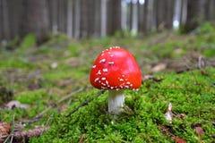 Μαγικό μανιτάρι μύγα-αγαρικών στα ξύλα Στοκ Φωτογραφία