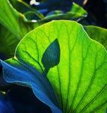 Μαγικό ρωσικό λουλούδι lotos του Αστραχάν της Κασπίας στο φως πρωινού Στοκ εικόνα με δικαίωμα ελεύθερης χρήσης