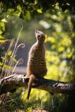 Μαγικό meerkat Στοκ φωτογραφίες με δικαίωμα ελεύθερης χρήσης