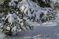 Μαγνητική χειμερινή σκηνή του δάσους που καλύπτεται με το νέο χιόνι στο πάρκο, Sofia Στοκ φωτογραφία με δικαίωμα ελεύθερης χρήσης