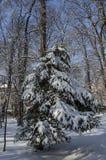 Μαγνητική χειμερινή σκηνή του δάσους που καλύπτεται με το νέο χιόνι στο πάρκο, Sofia Στοκ Εικόνες