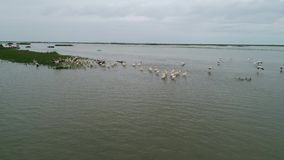 Μαγνητοσκόπηση aerian πέρα από έναν πίνακα πουλιών στο δέλτα Δούναβη φιλμ μικρού μήκους