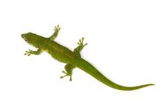 Μαδαγασκάρη ημέρα Gecko στοκ φωτογραφίες