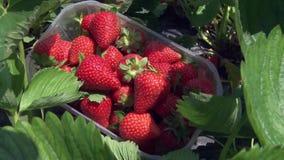 Μαζεμμένες με το χέρι φράουλες απόθεμα βίντεο