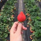 Μαζεμμένη με το χέρι φρέσκια φράουλα από το αγρόκτημα φραουλών Στοκ Εικόνα