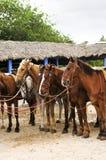 μαζευμένα παραλία άλογα στοκ φωτογραφία με δικαίωμα ελεύθερης χρήσης