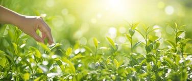 Μαζεψτε με το χέρι τα φύλλα τσαγιού στοκ εικόνες