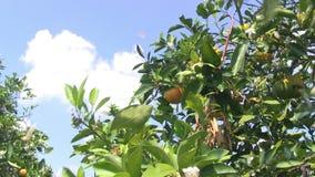 Μαζεύει με το χέρι το πορτοκάλι από ένα δέντρο απόθεμα βίντεο
