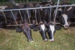 Μαζική αγελάδα που τρώει τις χλόες Στοκ Εικόνες