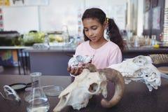 Μαθήτρια που κρατά το ζωικό κρανίο Στοκ εικόνες με δικαίωμα ελεύθερης χρήσης