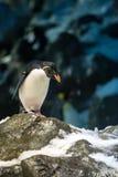 Μακαρόνια Penguin που στέκονται στο χιονώδη Stone και που κοιτάζουν κάτω Στοκ Φωτογραφία