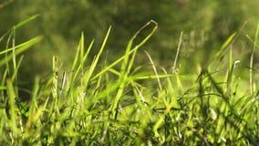 Μακριά άκοπη πράσινη χλόη που φυσά στο ελαφρύ υπόβαθρο αέρα φιλμ μικρού μήκους