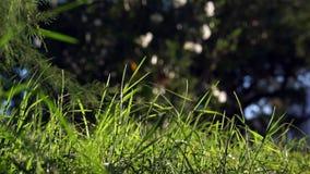 Μακριά άκοπη πράσινη χλόη που φυσά στο σκοτεινό υπόβαθρο αέρα απόθεμα βίντεο