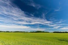 Μακριά άσπρα σύννεφα πέρα από τον τομέα με τις νέες εγκαταστάσεις καλαμποκιού Στοκ εικόνες με δικαίωμα ελεύθερης χρήσης