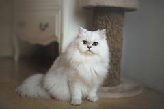 Μακριά άσπρη γάτα Στοκ Εικόνες