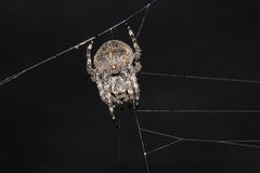 Μακριά - ανατολική αράχνη Στοκ Φωτογραφίες