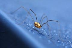 μακριά αράχνη ποδιών μπαμπάδω& Στοκ Φωτογραφία