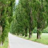 Μακριά εθνική οδός που οριοθετείται από τα μεγάλα παλαιά δέντρα λευκών Στοκ Φωτογραφία