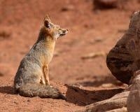 μακριά εξάρτηση αλεπούδων  Στοκ φωτογραφία με δικαίωμα ελεύθερης χρήσης