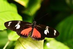 Μακριά εδάφη πεταλούδων φτερών της Doris στους κήπους Στοκ Εικόνες